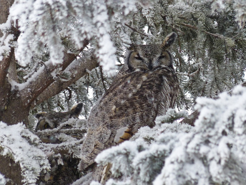 daily-owls:  Winter survival by annkelliott on Flickr.