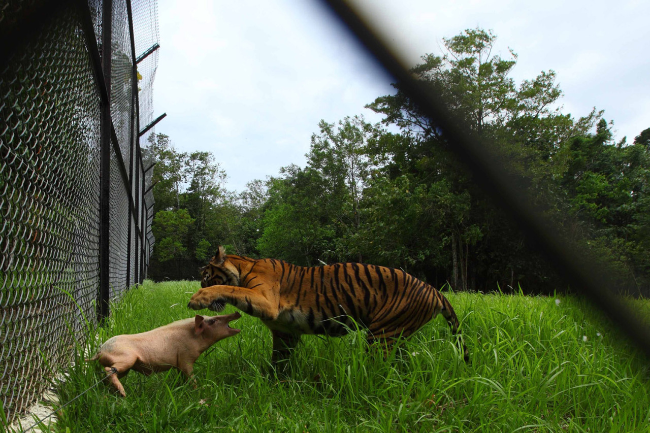 Feb. 24, 2013. A tiger plays with a pig before killing it at the Sumatra Tiger Rescue Center compound, inside the Tambling Wildlife Nature Conservation near Bandar Lampung, Indonesia. (Photo: Beawiharta—Reuters) See more of the week's best images at TIME LightBox.