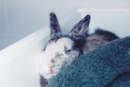 dailybunny:  Bunny Doesn't Mind If His Face Gets Squished As Long As He Gets the Cozy Spot He Wants Thanks, Aga!