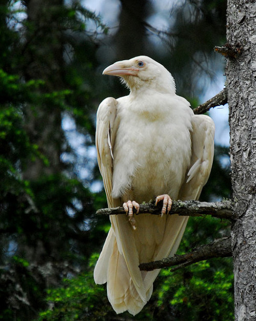gorgonetta:  [White raven with yellowish feathers] We tried to offer Cousin Mathilda some toner, but she said she wanted that gritty 1970s punk look