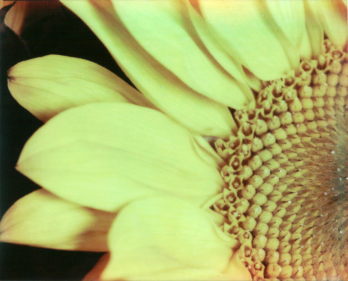 Sunflower PZ680 CP • Macro5