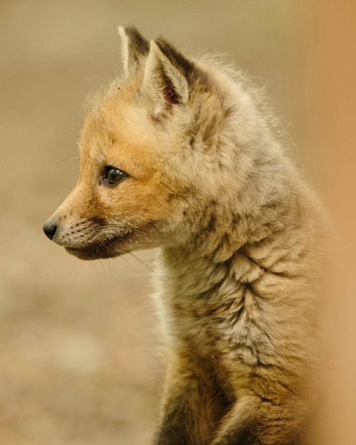 theanimalblog:  Red Fox (kit) Vulpes vulpes. Photo by PixelHawk  Cutets thing !
