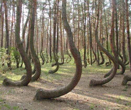 pizzzatime:  gnardine: remote forest in Western Poland, where 400 pine trees have grown with a curvature in their trunk structure
