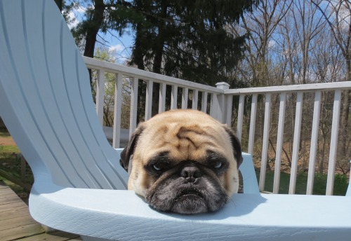 bunnyfood:  (via bobdoom:milothepug)