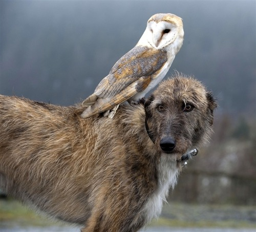 "raptorwing:  That dog looks terrified….like…""What the carp is on my back ;A;""  I'd be terrified if there was a barn owl on my back too akjsdhfkljdhs"