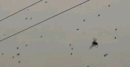 Watch Out! It's a Swarm of Spiders! Have you ever wondered what hundreds of floating spiders right above your head would look like? Check out this amazing video! Creepy but cool at the same time. CLICK HERE FOR THE REST OF THE POST AND THE VIDEO! Interested in liking my blog's Facebook Page?