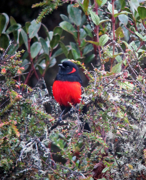 Anisognathus igniventris / Scarlet-bellied Mountain-Tanager by felixú on Flickr.