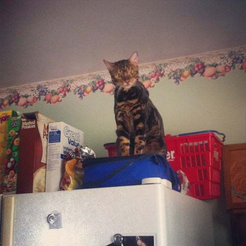 Margeaux on the fridge! #margeaux #bengal #cat