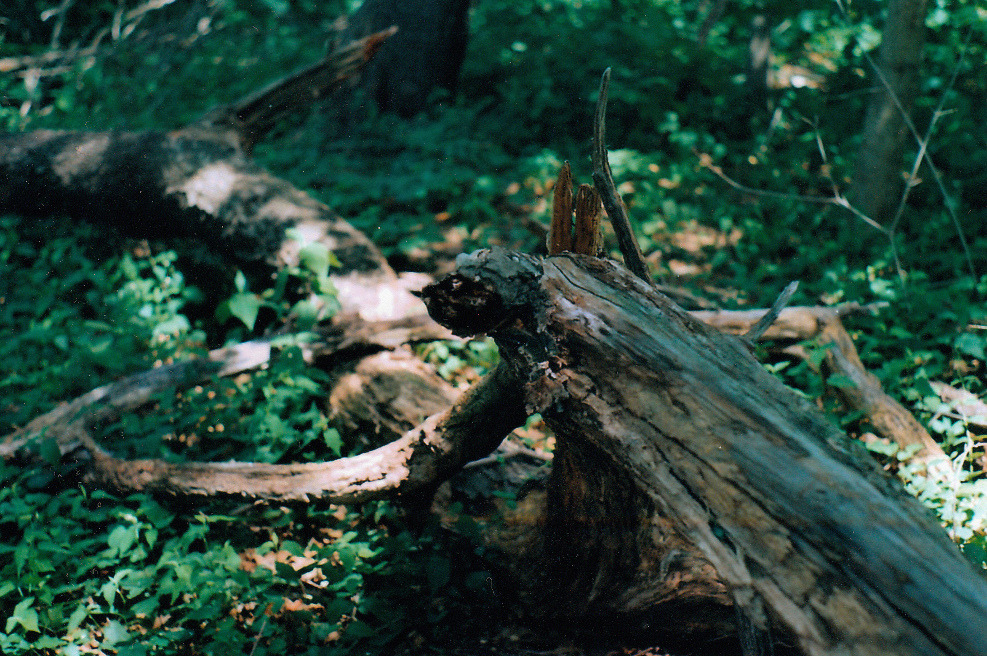 jiminycr-icket:  Fallen tree (by Von Römer Photography (✖╭╮✖))