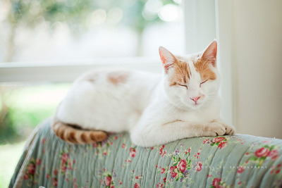 89cats:  White, red and sleepy by *Les Hirondelles* Photography on Flickr.