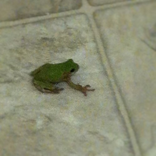 A frog decided to come say hi to me while I did the dishes after work….HOW DID IT GET IN MY HOUSE?!?