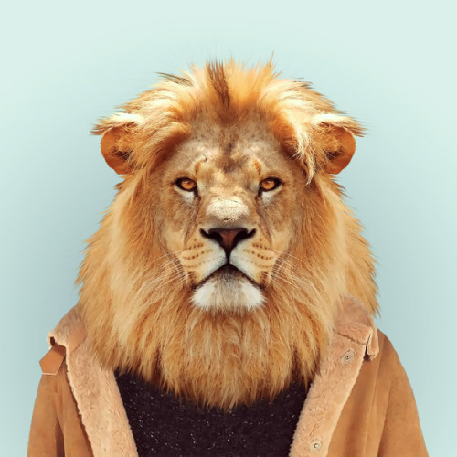 zooportraits:  LION by Yago Partal for ZOO PORTRAITS