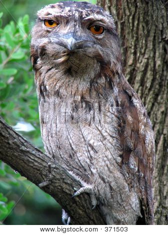 itsvondell:  i can't take this photo of this tawny frogmouth seriously