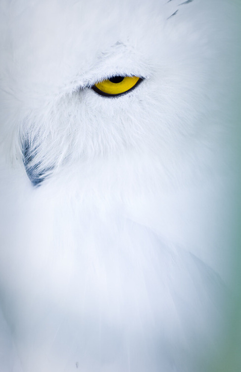 fairy-wren:  snowy owl (photo by monika krankillova)