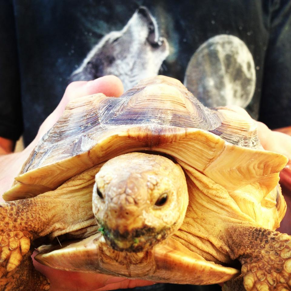 Randomrebelwolf and I found a dope as fuck African Spurred Tortoise. She can be kept as a pet so…her name is Derpina and I love her :D