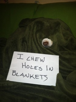 dogshaming:  Look mom, I made fleece Swiss cheese  Cooper uses blankets like pacifiers every single blanket in our house looks like Swiss cheese. He…  View Post