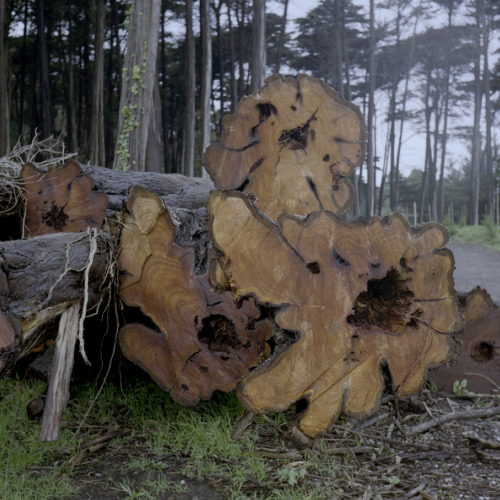 mpdrolet:  Felled trees in the Presidio Wayne Bremser