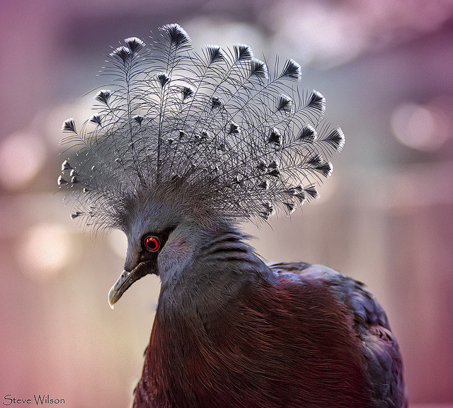 funnywildlife:   Avian Glam Rock by Steve Wilson - need to up my game on Flickr. Victoria Crowned Pigeon, Chester Zoo, Uk