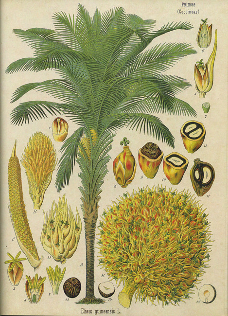 danielleverner:  Inspiration for a new pattern in the works.Botanical illustration of the African oil palm (Elaeis guineensis) from Omnius Botanicus, 1821.