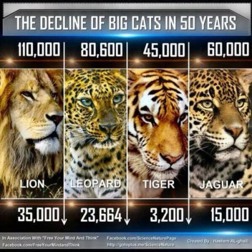 youngharlemnigga:  survivide:  Oh my goodness, I knew something about the decrease of tigers but I didn't know it was this bad!   Smh