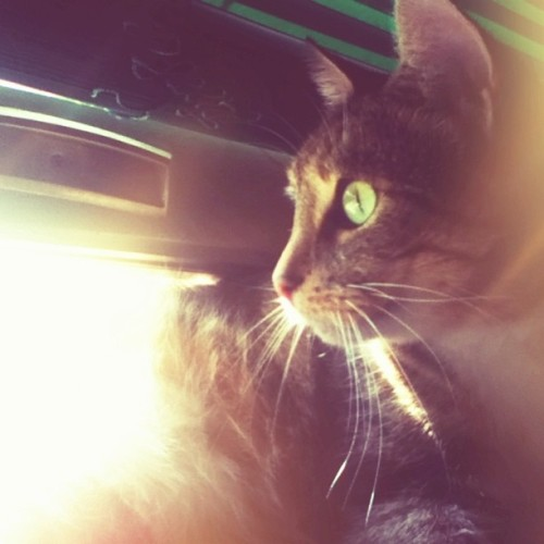 LusaBaby. 💛 Her eyes shine in this. #vintique #cat #neko #gato #pet #catstagram #instacat #catmancing #catsofinstagram #caturday #meowstagram #instameow #petstagram #instapet #instagram #instagramhub #instagood #instamood #instacool #instadaily #igdaily #photography #ipodography #photooftheday #goodnight