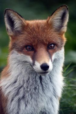 animals fluffy tumblr nature fox blog cuteness online red fox Tumblr fox