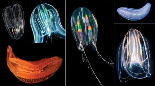 "mucholderthen:  Translucent swimmers, comb jellies come in a variety of forms. New genetic data suggest that these relatively complex animals may have evolved before, not after, sponges. [Credit: Clockwise from top left: L.L. Moroz & M. Citarella/Univ. of Florida; Dimijian Greg/Getty Images;  Ingo Arndt/Minden Pictures/Corbis; Boris Pamikov/Shutterstock; Dimijian Greg/Getty Images; Casey Dunn/Brown Univ.]________________________________________ COMPLEXITY MAY EVOLVE MORE OFTEN THAN WE THINK[Selections from:  ""Evolutionary enigmas Comb jelly genetics suggest a radical redrawing of the tree of life"" by Amy Maxmen in Science News May 2, 2013 - Print edition: May 18, 2013; Vol.183 #10 (p. 20)]Go to article … Comb jellies [phylum Ctenophora] are gelatinous like jellyfish, but the similarity ends there. In body plan, jellyfish resemble the largely sessile, almost plantlike sea anemones, corals and other cnidarians: a group that dates back at least 550 million years. While jellyfish and other cnidarians have nerve cells that form a loose network in their bodies, comb jellies have a more sophisticated nervous system with a rudimentary brain and cellular connections called synapses that are also found in flies, humans and most other animals. Yet, detailed looks at the genomes of two species of comb jellies suggest, surprisingly, that they are the more primitive animals, and not the jellyfish, sea anemones or corals, as has long been thought. It's even possible that the sophisticated comb jelly lineage may have evolved before the brainless, gutless, muscle-less sea sponges. … The notion that comb jellies may elbow out sponges from the base of the animal tree of life is a radical one. If true, it means that comb jellies evolved nerves, muscles and other complex features, which in some ways resemble our own, independent of the ancestor that led to most animals. Alternatively, and even more difficult for biologists to accept, is the possibility that the last common ancestor of all animals might have possessed complex features that remained in the comb jellies but were lost without a trace in the sponges, jellyfish and their kin. Both options muddle traditional assumptions that multifaceted features do not pop up and vanish willy-nilly over evolutionary time. … Leonid Moroz, a neurobiologist at the University of Florida's Whitney Laboratory for Marine Bioscience in St. Augustine, recently sequenced the genome of the sea gooseberry comb jelly, Pleurobrachia bachei. The new genetic findings imply that ""there may be many ways to make a complex animal,"" he says. Others disagree. ""It would be remarkably fascinating if comb jellies evolved neurons and muscles independently, and astonishing if they were at the base of the tree,"" says Graham Budd, a paleontologist at Uppsala University in Sweden. ""It is effectively saying animals evolved twice. Frankly, I'm not ready to believe it."" (Evolutionary enigmas 