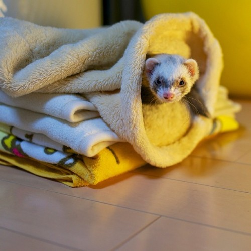 thefluffingtonpost:  PHOTO OP: Ferret in the Laundry Via hatanakao.