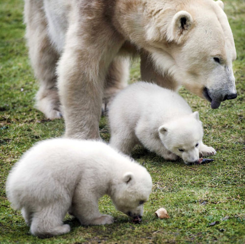 After a stay in a maternity cave with their mother Frimas for two months, young polar bears Noordje and Pixel emerge into the open air at Dierenrijk Nuenen Zoo in Nuenen, the Netherlands.  Picture: EPA/KOEN VAN WEEL