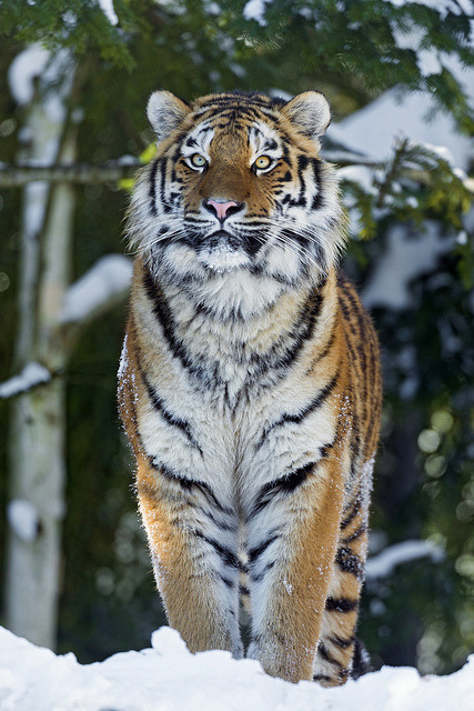 theanimaleffect:  Luva proudly standing in the snow by Tambako the Jaguar on Flickr.  http://abretumente.tumblr.com/