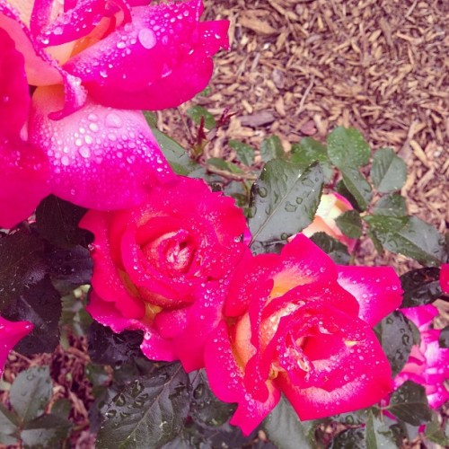 Rainy day #roses. #flowers #rain