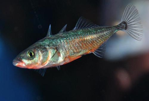 The  threespine stickleback, Gasterosteus aculeatus, is native to northern Europe, northern Asia, and North America. Most populations are anadromous (they live in seawater but breed in freshwater or brackish water), but there are also freshwater populations confined to landlocked lakes  This species has contributed much to the study of species formation and it is a research organism for evolutionary biologists and geneticists studying adaptation to new environments. More about this fish on EOL: http://eol.org/pages/223856/detailsImage by D. Ross Robertson via Shorefishes of the neotropics