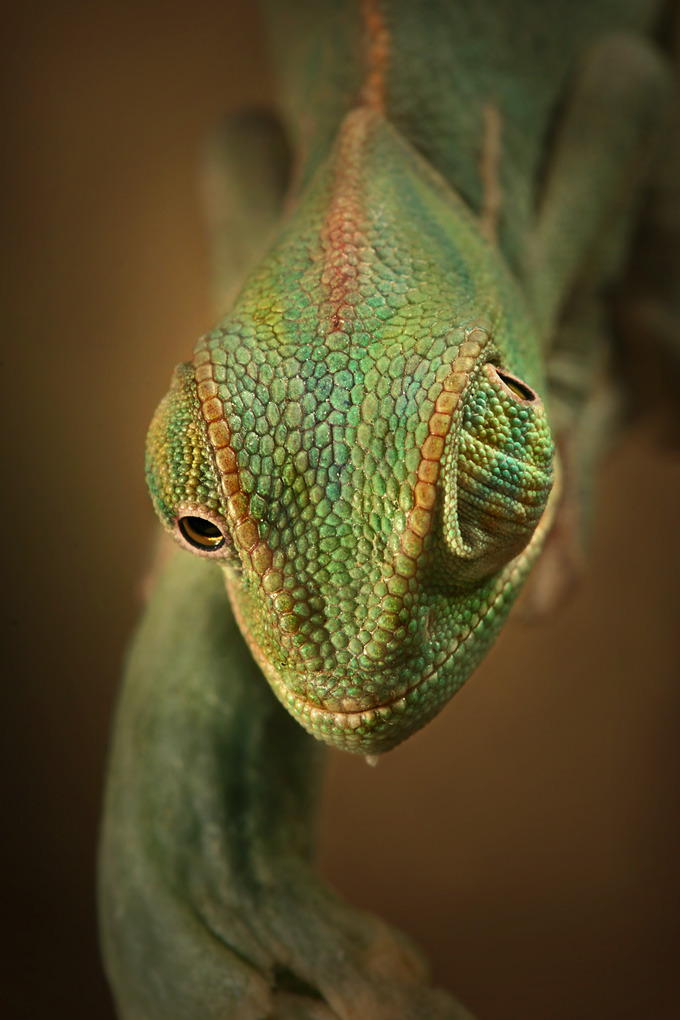 earth-song:  One of many reasons chameleons are such cool creatures. by  igor siwanowicz