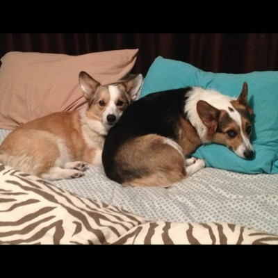 I think these two are ready for bed. Where am I going to sleep now? #dog #dogdays #dogsofinstagram #corgi #pembrokewelsh #cute