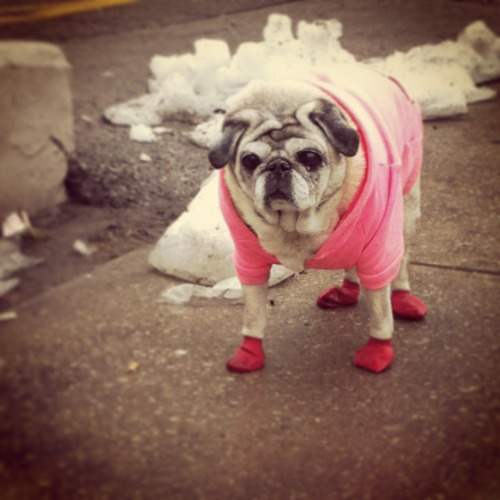 This pug refuses to walk in her booties.