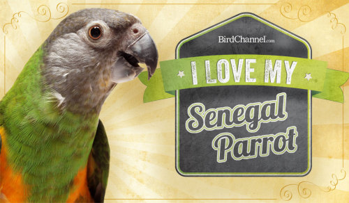 Do you love your Senegal parrot? Senegal parrots are affectionate and need enough attention to keep them from getting bored, but is independent enough to spend time on a playgym. Senegal owners find their birds to be smart, loving as well as strong-minded. Download the sign here.