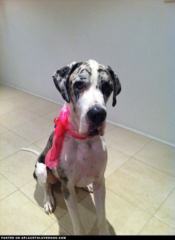Our beautiful Great Dane, Jack, died suddenly last night. He suffered bloat. He was only three-years-old and was such a gentle giant. We will miss his beautiful soul and his great big hugs so much. RIP, love you always, Jacky Boy x Submitted by Amy V Original Article