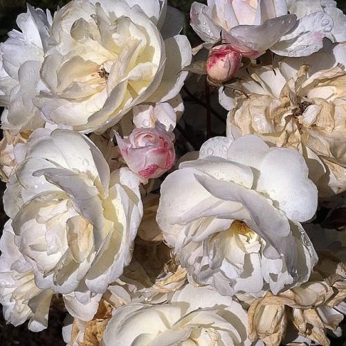 #roses #naturadead #white