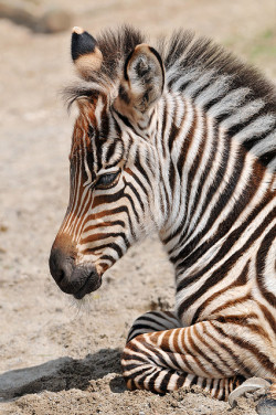 eartheir:  Very young zebra by Tambako the Jaguar on Flickr.