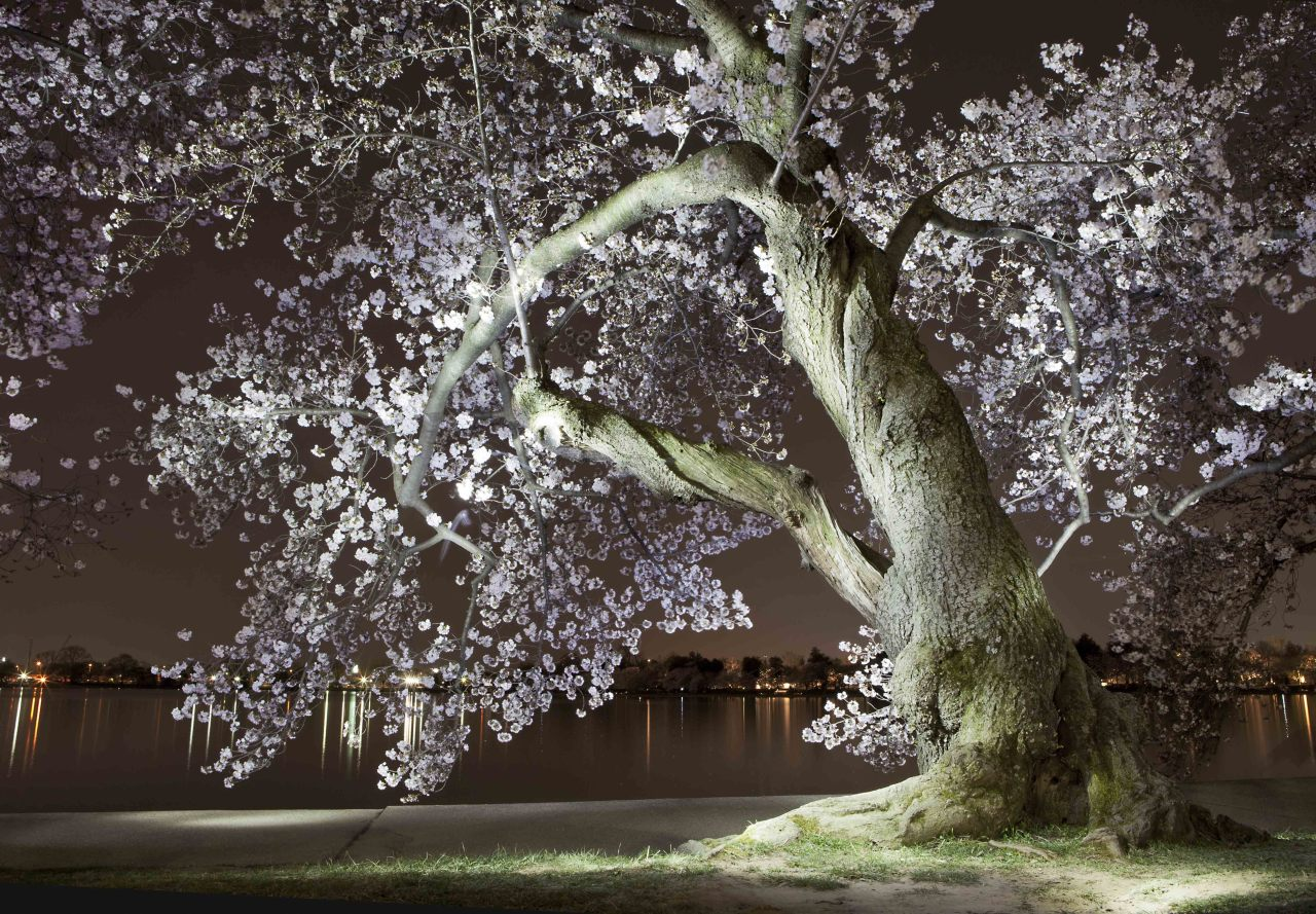 We prefer to check out the cherry blossoms at night, but they're usually not quite this beautiful. Check out the Atlantic's piece on Jacques Domenge's light paintings of our awesome blossoms.