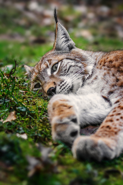 packlight-travelfar:  Luchs by Naturfotografie - Stefan Betz on Flickr.