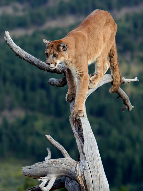 Puma in a tree #15 (by Steve Tracy Photography)