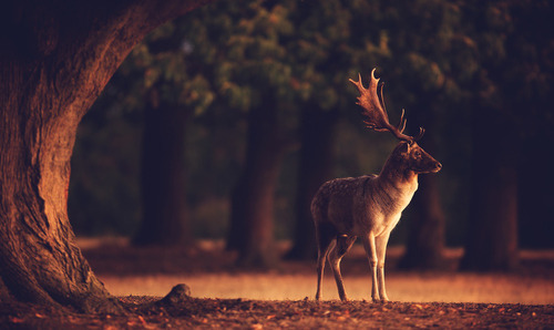 "morgondagg:  ""split toned buck"" by Mark Bridger"
