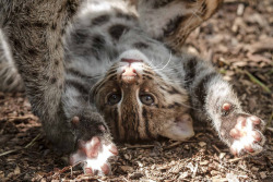 Fishing Cat Kittens Explore Their Yard at the Smithsonian's National Zoo by Smithsonian's National Zoo on Flickr.Photo Credit: Janice Sveda,