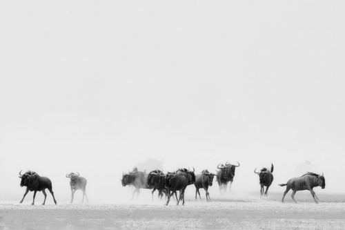 The Stampede by Andrew Aveley