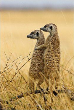 You've Got A Friend by AnyMotion on Flickr.Meerkats of Makgadikgadi Pan N.P., Botswana, Africa