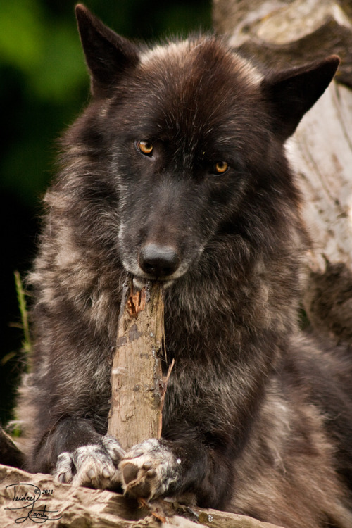 wolveswalkingintheforest:  Chew Toy by DeeOtter on deviantart.com