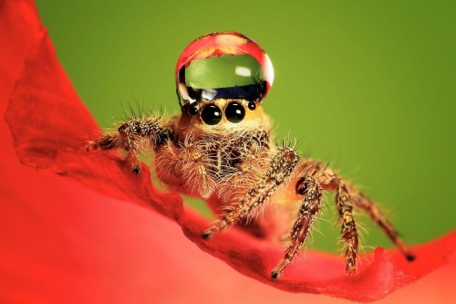 disgustinganimals:  ghostmapped:  chronicarus:  Spiders with water droplet hats are something I really needed to know about.   Shameless behavior in this drought, disgustinganimals  maybe they're the ones who took all the water not saying they did, but they just look so smug…