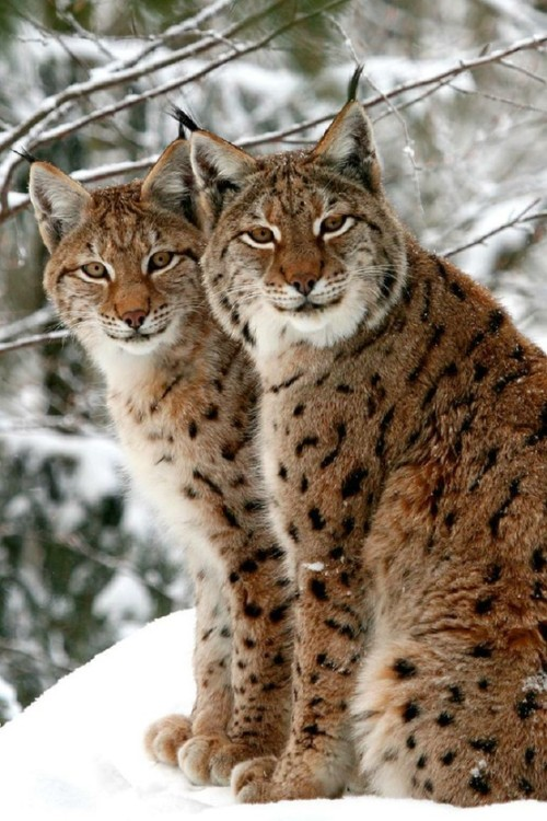 agypsycrystal:  Double trouble (a pair of Eurasian Lynx)