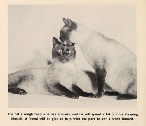 From the book Siamese Cats by Louise Van der Meid, 1960. Photographs by the author. Source: Open Library.